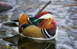 Un pato multicolor flota en una charca en una mañana de la primavera Fotografía de archivo libre de regalías