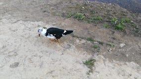 Un pato muy divertido que juega con la comida por el río