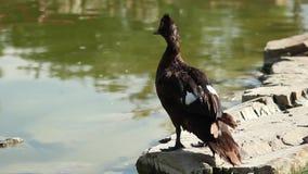 Un pato negro dishelved apenas que coloca en frente un lago almacen de video