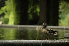 Un pato que mira en una charca el dpark del ¼ de SÃ, Düsseldorf, Alemania fotografía de archivo libre de regalías