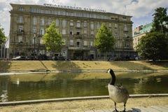 Un pato que mira a través del lago, Nordliche Dussel en un hotel en D fotos de archivo