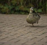 Un pato que vaga alrededor con un pie para arriba en el dpark del ¼ de SÃ, Düsseldorf imagen de archivo libre de regalías
