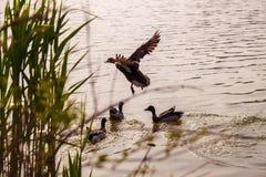 un pato saca del río imágenes de archivo libres de regalías