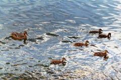Un pato salvaje con una cría de anadones foto de archivo