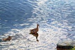 Un pato salvaje con una cría de anadones fotos de archivo libres de regalías