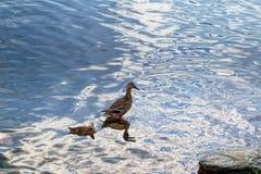 Un pato salvaje con una cría de anadones imagen de archivo libre de regalías