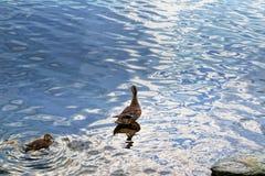 Un pato salvaje con una cría de anadones foto de archivo libre de regalías