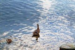 Un pato salvaje con una cría de anadones imagenes de archivo
