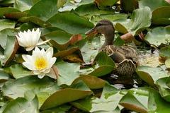 Un pato salvaje entre lirios de agua Foto de archivo libre de regalías