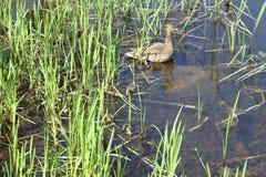Un pato silvestre de la madre con sus anadones que ocultan en la hierba foto de archivo