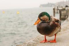 Un pato sobre el lago del paisaje de Garda fotos de archivo libres de regalías