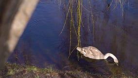Un pato solitario en un pantano almacen de metraje de vídeo
