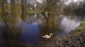 Un pato solitario en un pantano almacen de video