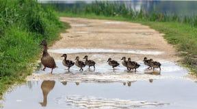 Un pato y con los anadones que cruzan una trayectoria Foto de archivo libre de regalías