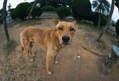 Un pauvre chien brun Photo libre de droits
