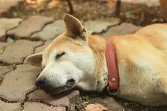 Un pauvre chien mort sur le plancher Image stock