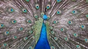 Un pavo real almacen de metraje de vídeo