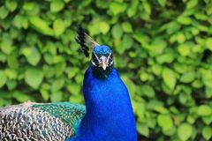 Un pavo real Foto de archivo