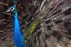 Un pavo real del baile Fotos de archivo