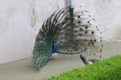 Un pavo real masculino realiza una exhibición del cortejo imagen de archivo libre de regalías