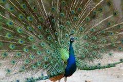 Un pavo real que exhibe su plumaje Foto de archivo libre de regalías