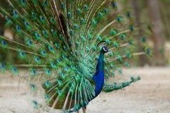 Un pavo real que exhibe su plumaje Fotografía de archivo