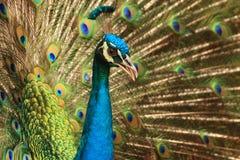 Un pavo real que hace alarde de sus plumas Imagen de archivo