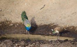 Un pavone e un'acqua potabile di pavone femmina in un lago immagine stock libera da diritti