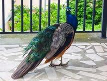 Un pavone indiano maschio curioso che cammina su un portico immagini stock