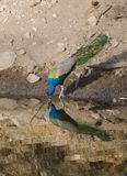 Un pavone, l'uccello nazionale dell'acqua potabile dell'India da un lago Immagine Stock