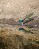Un pavone, l'uccello nazionale dell'acqua potabile dell'India da un lago Fotografie Stock Libere da Diritti