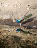 Un pavone, l'uccello nazionale dell'India in un lago Immagine Stock Libera da Diritti
