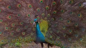 Un pavone maestoso Fotografie Stock Libere da Diritti