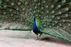 Un pavone nello zoo fotografia stock
