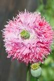 Un pavot rose images stock