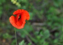 Un pavot rouge Images stock