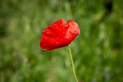 Un pavot rouge photos libres de droits
