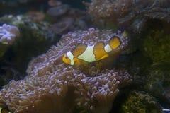 Un payaso el abrigar de Anemonefish y anémona de mar Imágenes de archivo libres de regalías