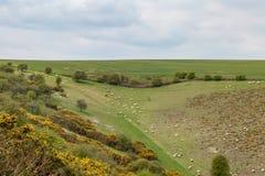 Un paysage du Sussex avec frôler des moutons image libre de droits