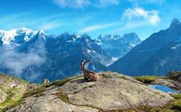 Un paysage magique avec la chèvre de montagne au milieu des Alpes Photographie stock