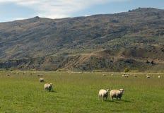 Ferme de moutons de la Nouvelle Zélande Images libres de droits