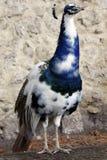 Un peafowl images stock