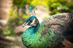 Un peafowl image stock