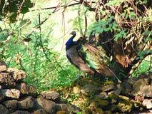 Un Peafowl indio masculino debajo de un árbol imagen de archivo libre de regalías