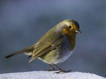 Un pecho rojo del petirrojo en sol del invierno Fotografía de archivo libre de regalías