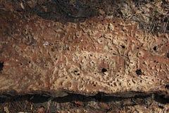 Un pedazo de corteza del árbol afectado por el escarabajo de corteza Fotografía de archivo libre de regalías