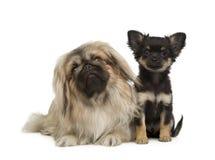 Un Pekingese e una chihuahua Fotografia Stock