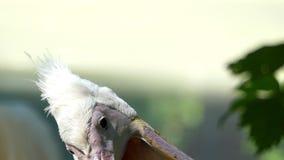 Un pelícano blanco da vuelta a su cabeza con un pico largo en un banco del lago metrajes