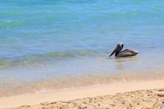 Un pelícano en el mar Foto de archivo libre de regalías