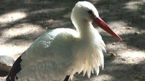 Un pellicano bianco divertente sta sulla Banca del lago video d archivio